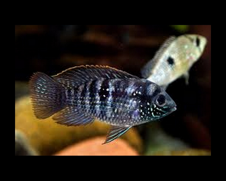Blue Acara - Medium