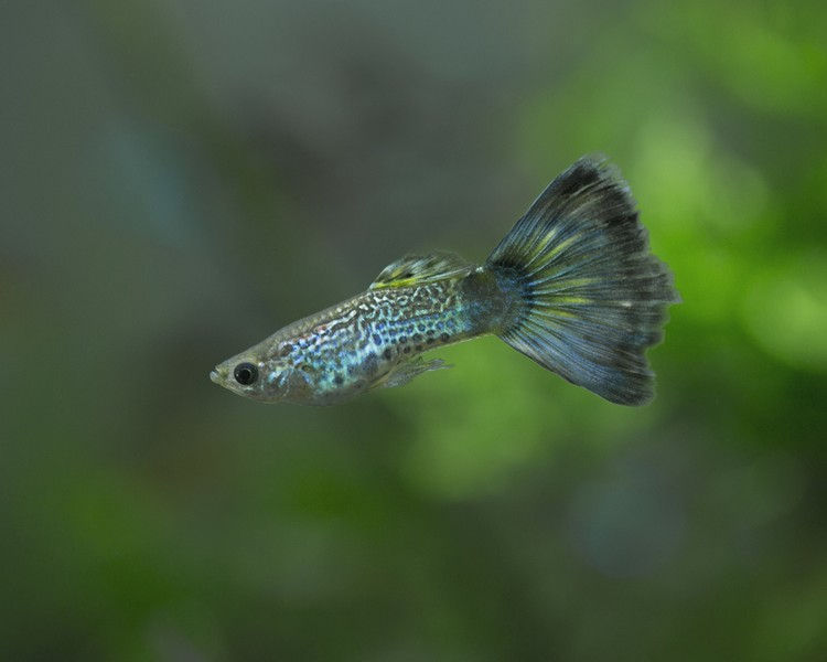Blue Cobra Guppy - Male - Medium/Large