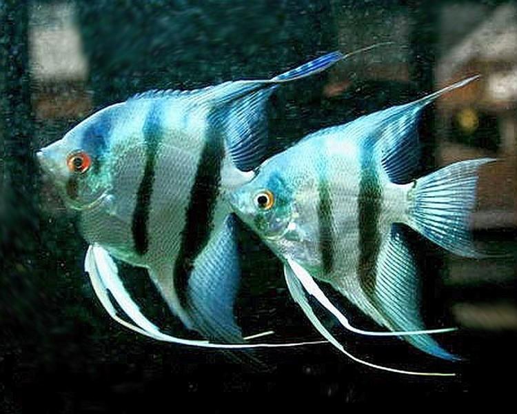 Angelfish - The Trop Company