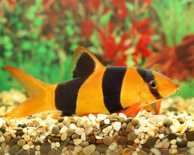 4x Small Clown Loach Selection Pack