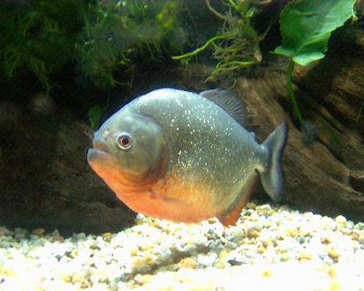 red bellied pacu 8 10cm