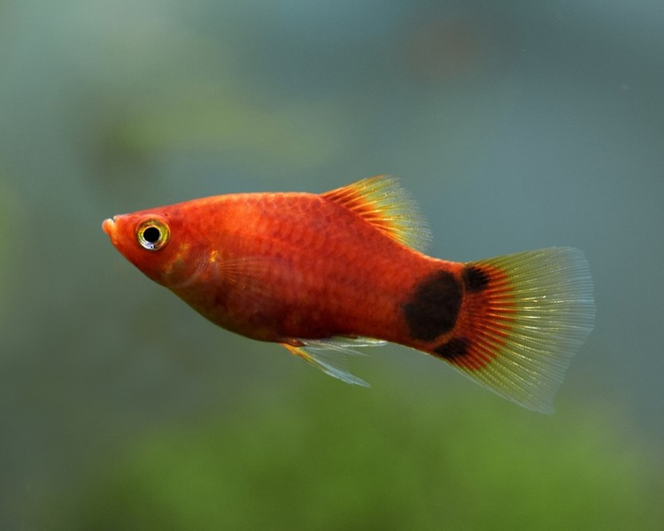 Mickey mouse platy medium large for Molly fish food