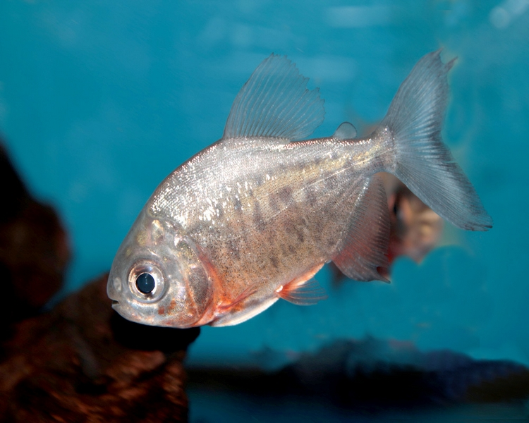 Red Bellied Pacu - 4-5cm