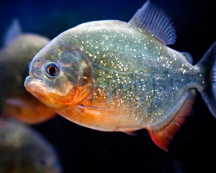 Red Bellied Piranha - 3cm