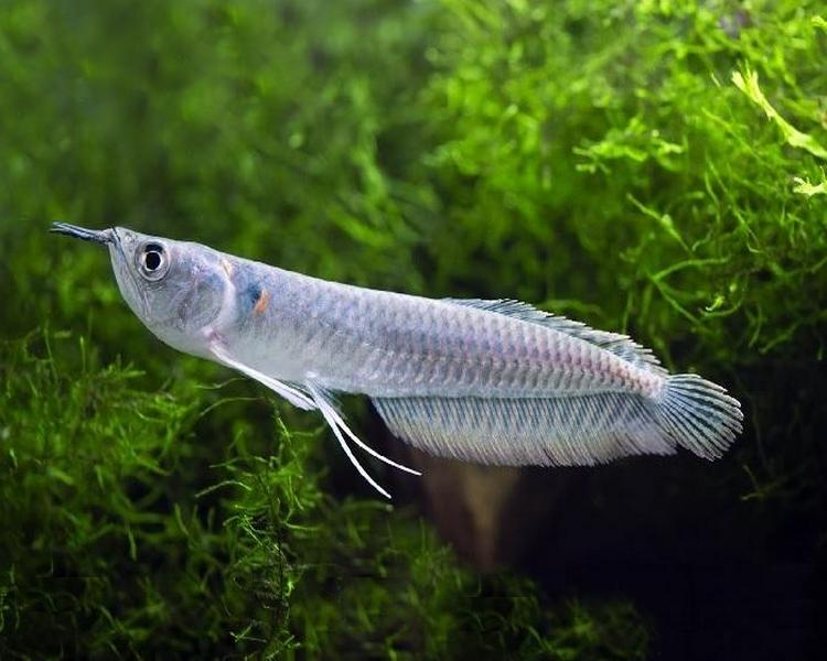 Silver Arowana Fish