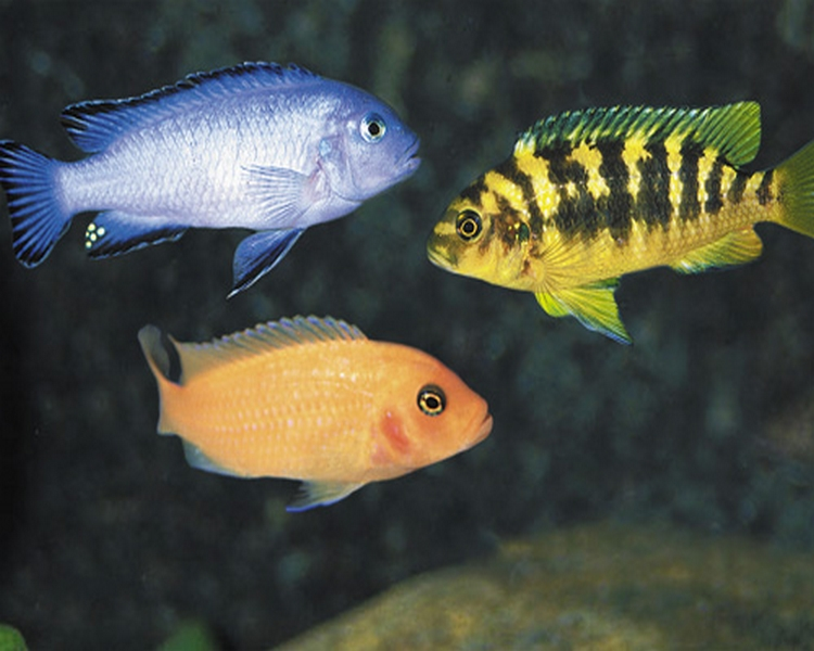 Assorted Small African Cichlid Mix ~ 2.5cm - 5cm