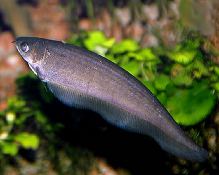 african knife fish 12cm
