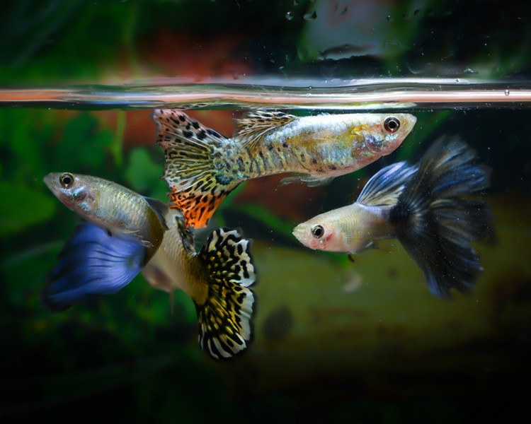 Assorted Guppy - Male - Medium/Large