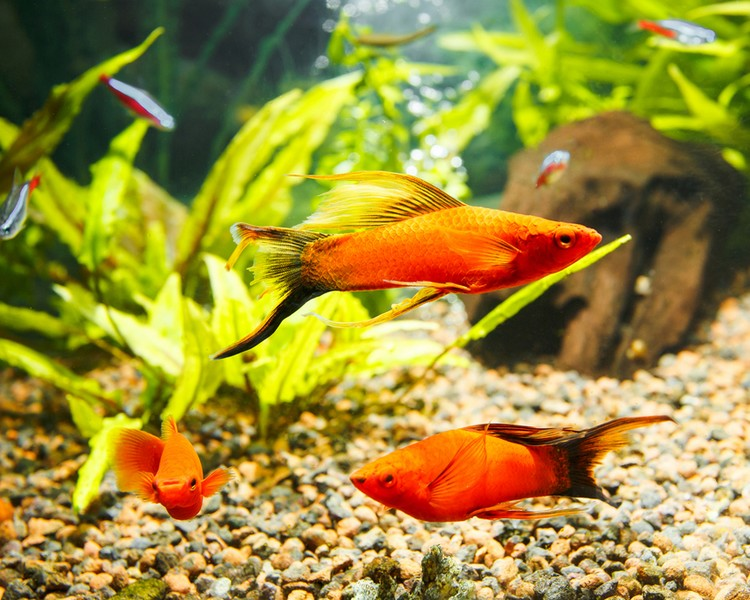 Assorted Swordtails ~ 3cm - 3.5cm