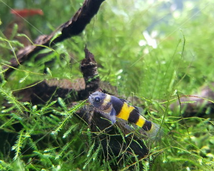 Bumble Bee Goby Small