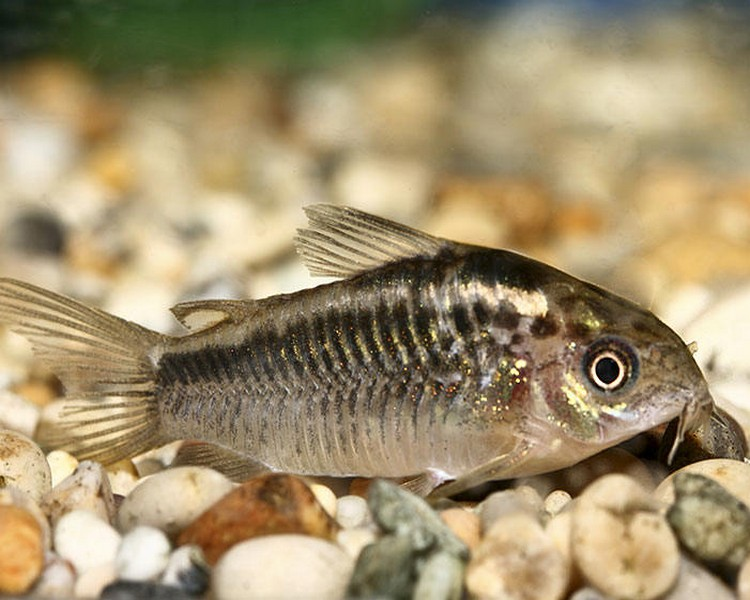 Elegant Corydoras - Medium/Large