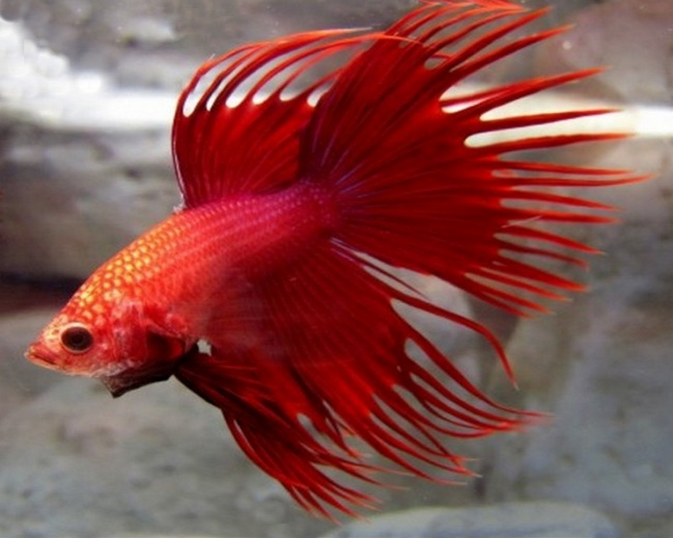 Male Crown Tail Siamese Fighting Fish ~ 4-5cm - 5cm