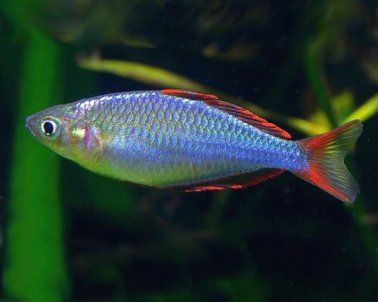 Dwarf neon rainbow praecox for Dwarf rainbow fish