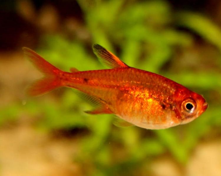 ember tetra fish
