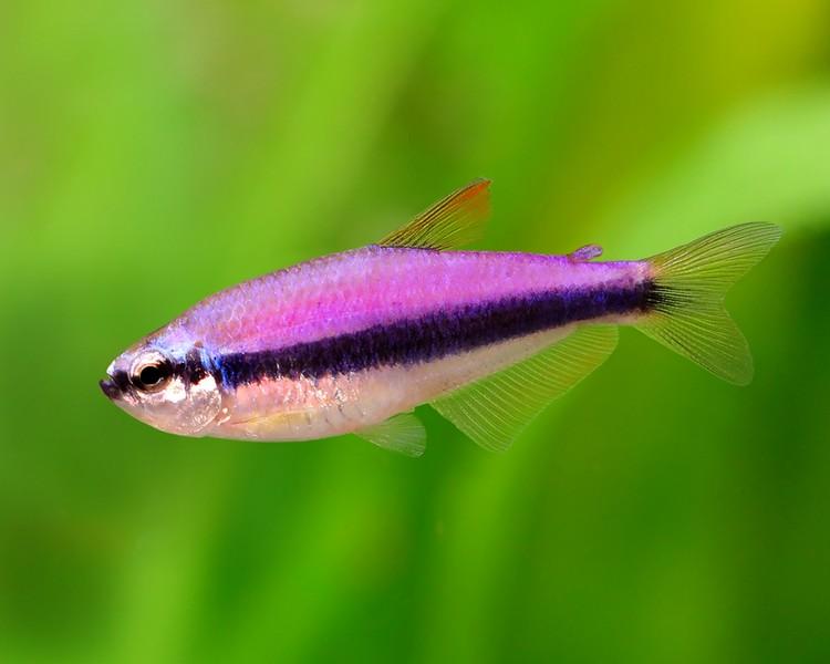Purple emperor tetra medium large for Large peaceful community fish