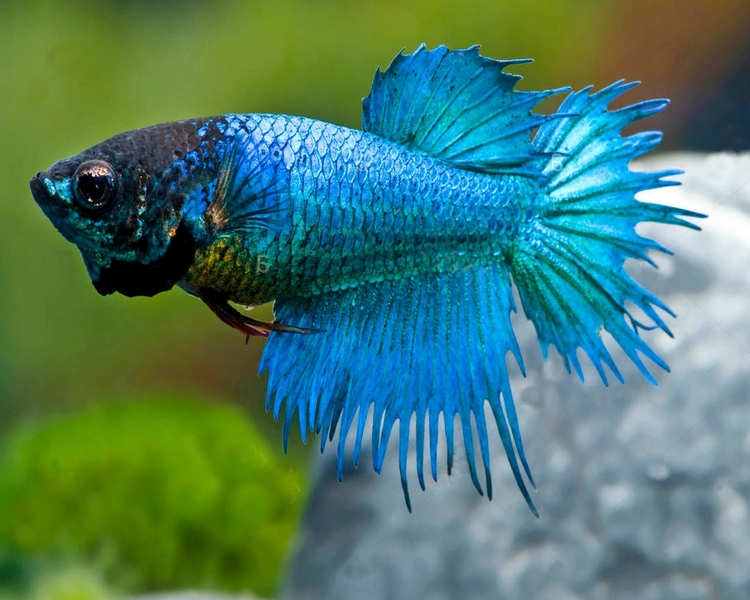 Female Crown Tail Siamese Fighting Fish ~ 3cm