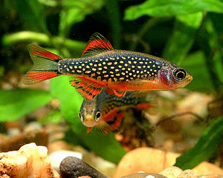 Danios rasbora minnows the trop company for Large peaceful community fish