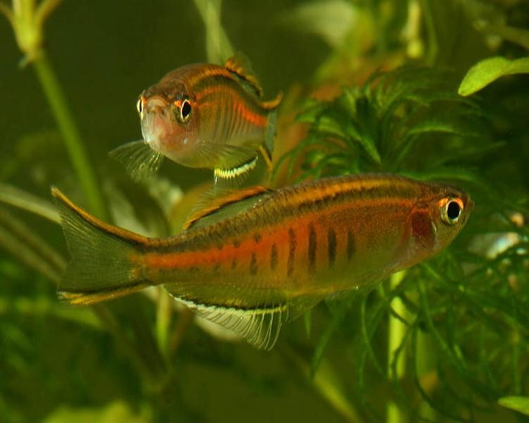 Glowlight danio medium large for Danio fish care