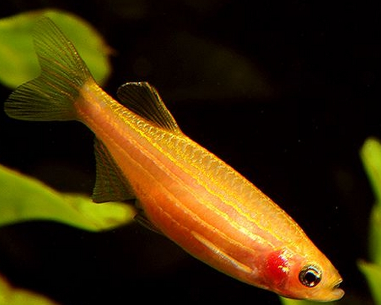 Golden Zebra Danio - Medium