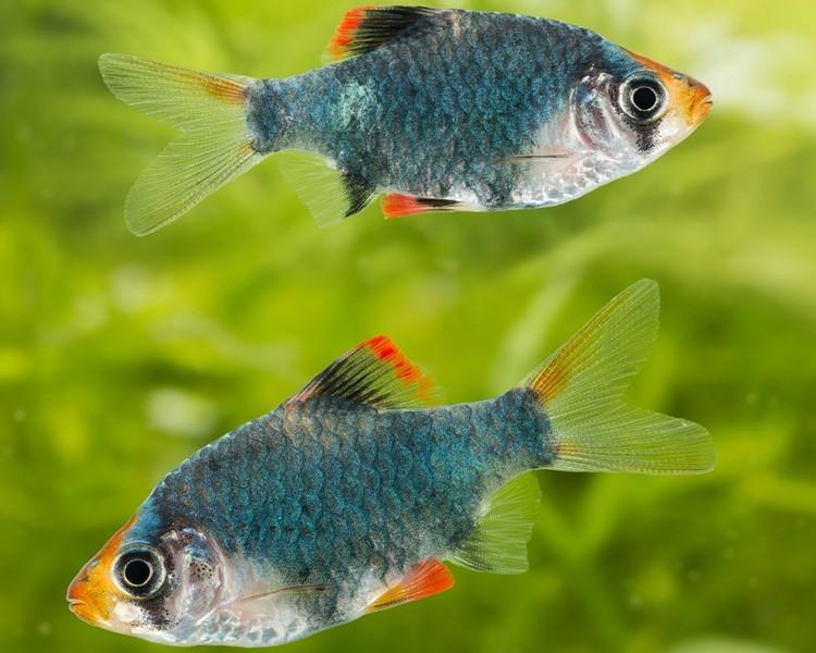 Barb Fish | Green Tiger Barb Small Medium