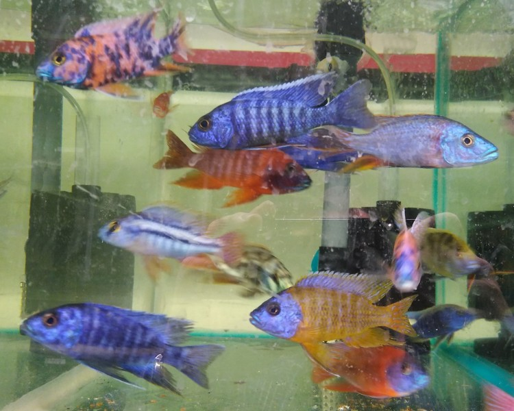 Assorted Large African Cichlid Mix ~ 7cm - 8cm