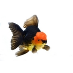 Fancy Goldfish - Carassius auratus