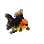 Fancy Goldfish - The Trop Company