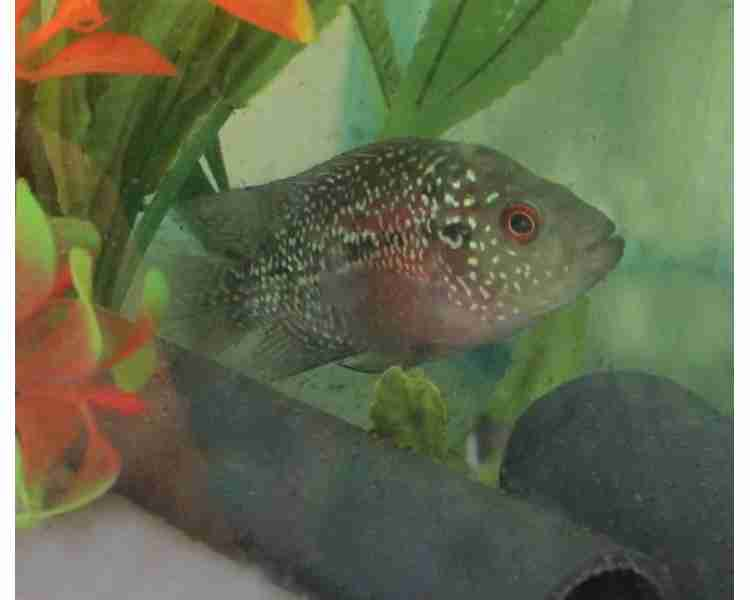 Pearl Flowerhorn Cichlid - 7-9cm