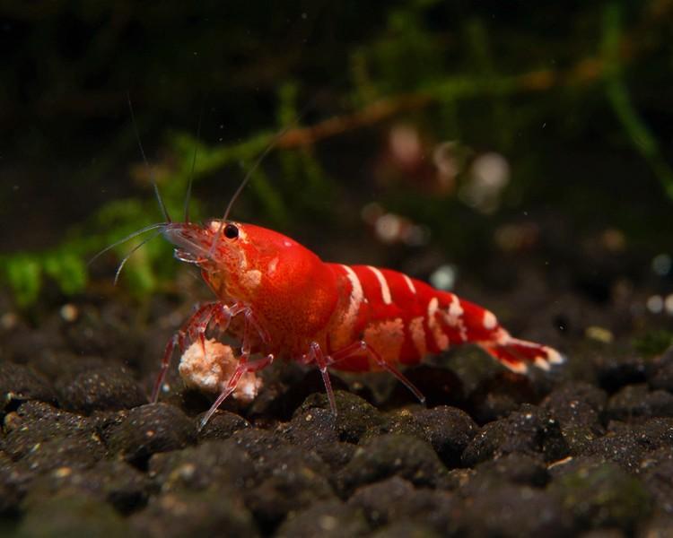 Red Crystal Shrimp - Medium