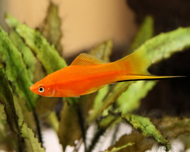 Red Swordtail ~ 4.5cm - 5.5cm