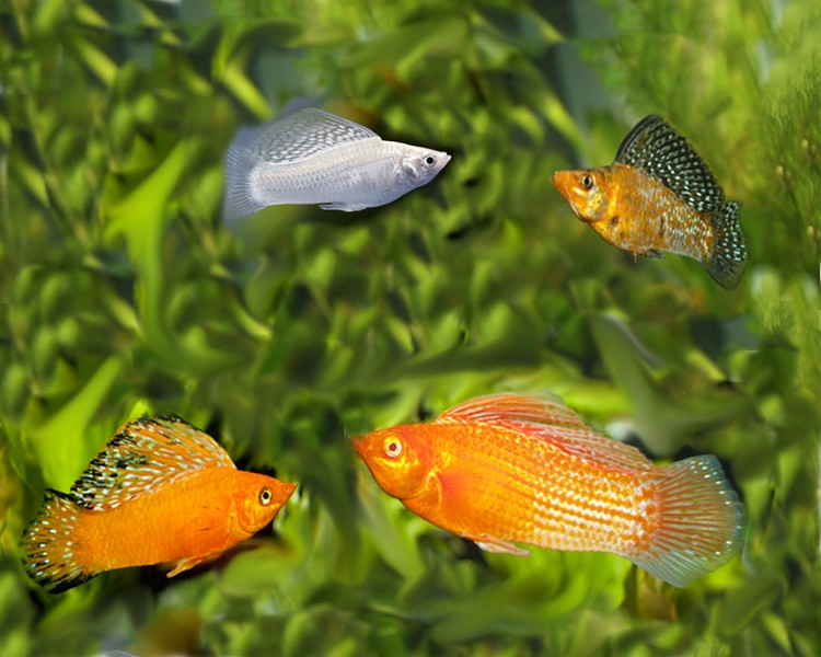 Assorted sailfin mollies large for Molly fish food